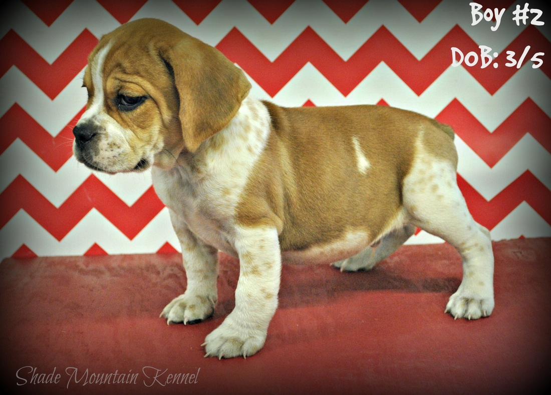 Beabull Puppies 2 - Shade Mountain Kennel